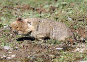 Ethiopian Wolf - Big Headed Mole Rat